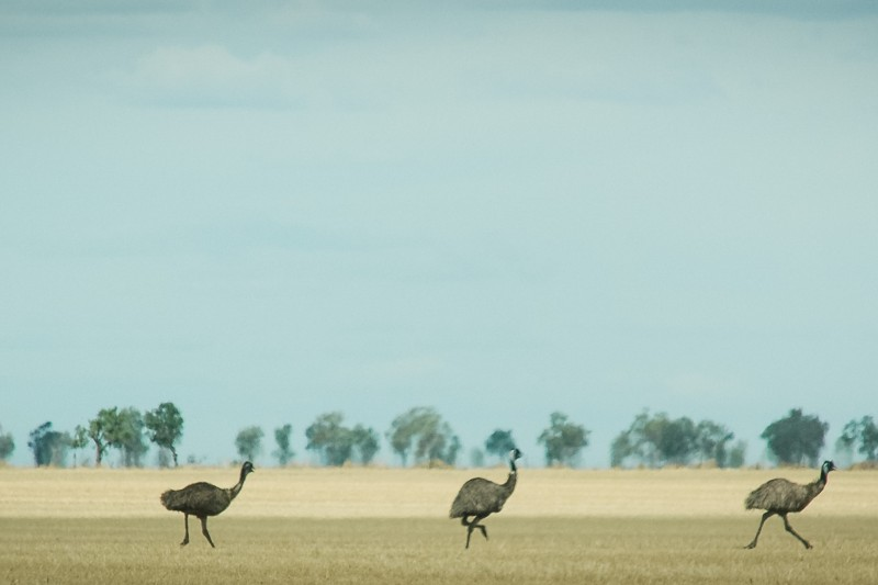 Janlin Emu Farm